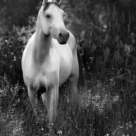 white Arabian horse in B+W