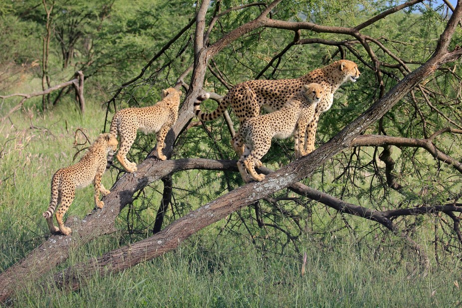 this cheetah family didn\'t seem to be concerned about our presence.