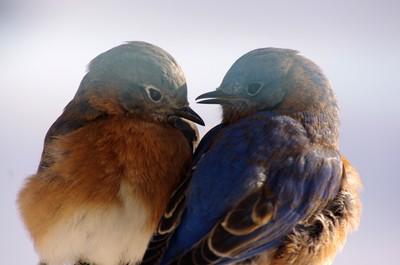 2014 Eastern bluebird male & female