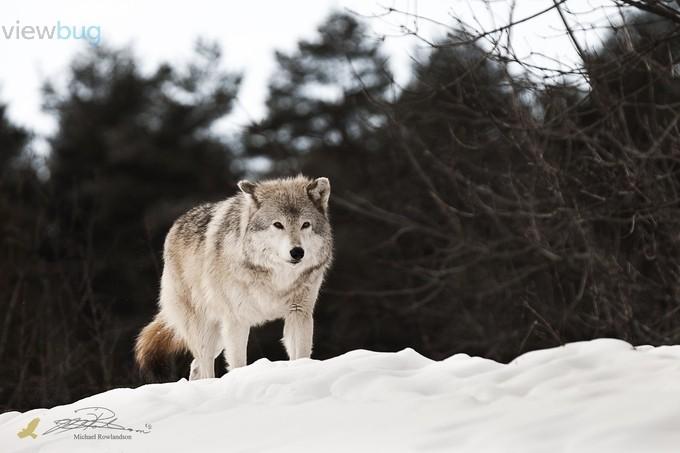 Grey Wolf by michaelrowlandson