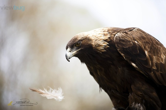 The Moment- Golden Eagle by michaelrowlandson
