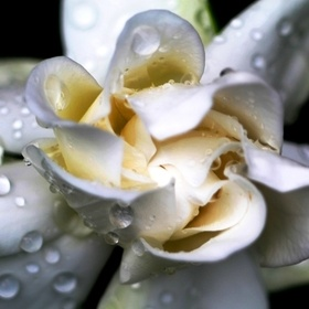 This lovely fragrant gardenia had just opened the sprinklers have left droplets of water behind                     ADDITIONAL NOTE :- many thank...