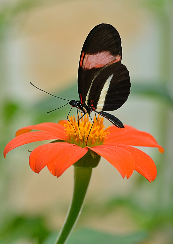 A red postman butterfly feeding on an orange daisy