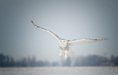 Snowy Owl Inflight