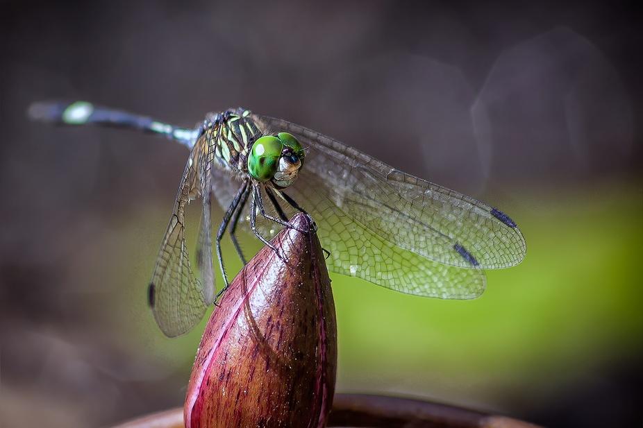 Green-Eyes---Dragonfly 2
