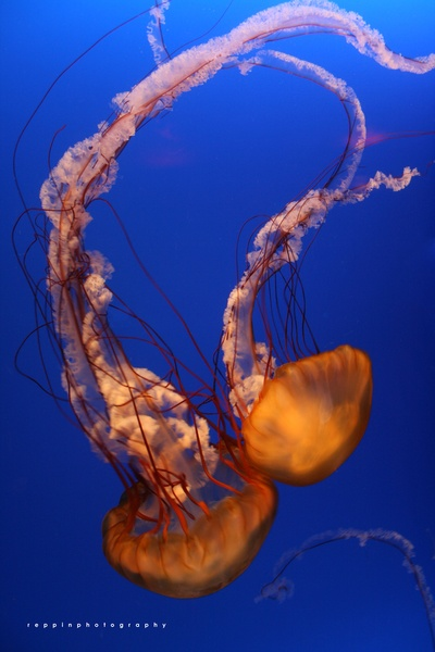 The Jelly Fish