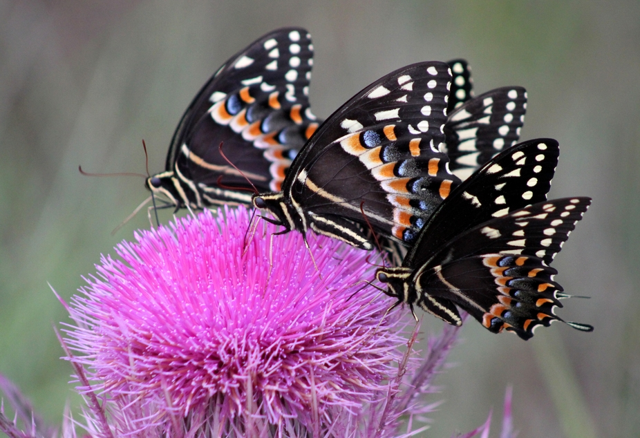 Three black butterfflies on a thistle