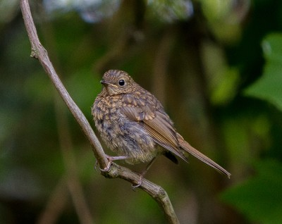 Young Robin on branch-1