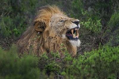 Growling Lion-2