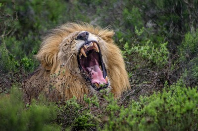 Growling Lion-1