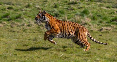 Leaping Tiger-1