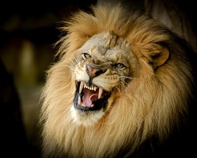 Beautiful Old Lion Roaring-0069