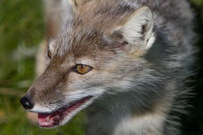 Wolf-1
