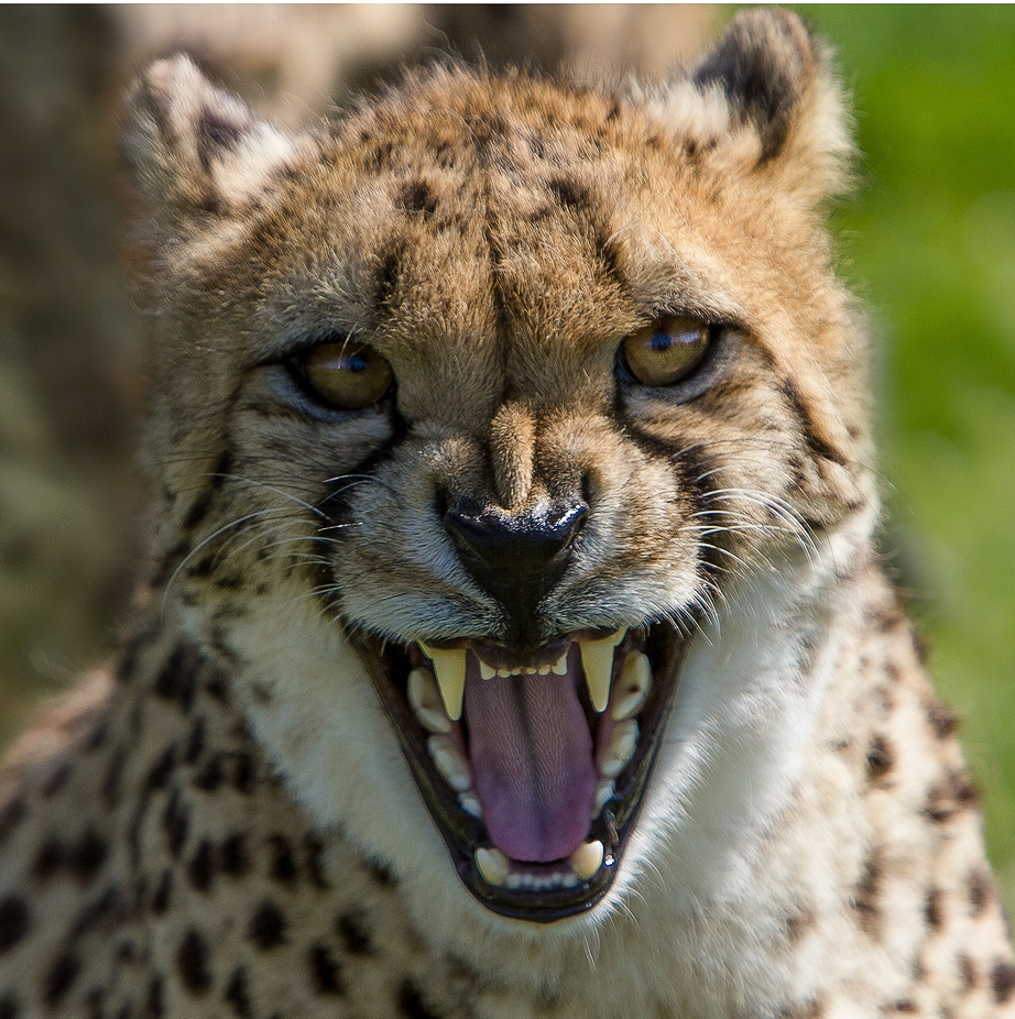 cheetah-3 by SURREALIMAGE - Happening At The Zoo Photo Contest