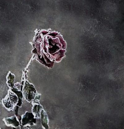 Frozen Rose-1