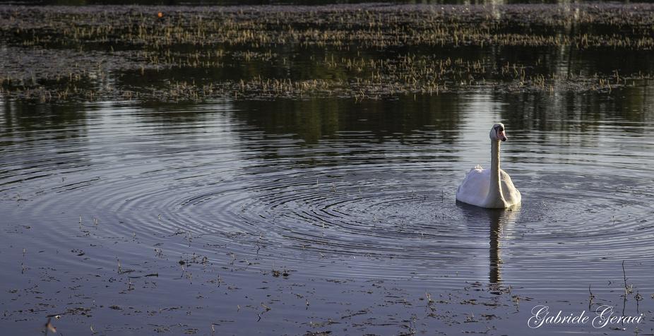 Cigno Reale nel lago