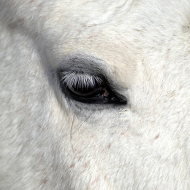 beautiful white horse / male