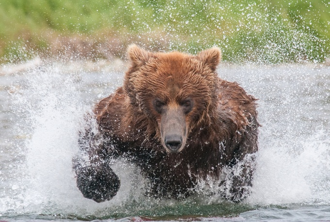Step Aside by galsworth - Bears Photo Contest