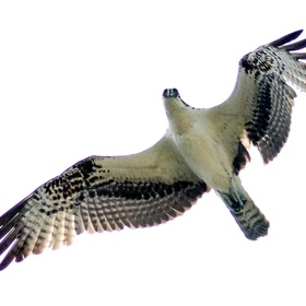 A large raptor better known as an Osprey (Pandion haliaetus), sometimes known as the sea hawk, fish eagle, or fish hawk, is a diurnal, fish-eatin...