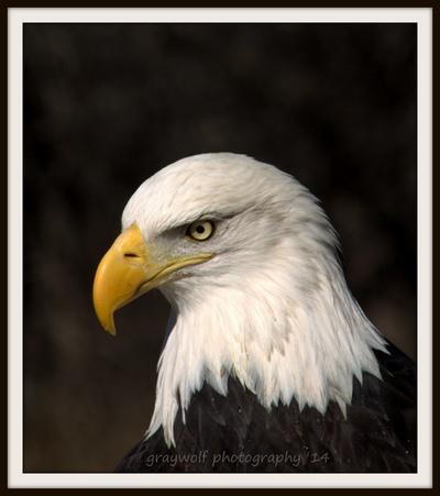 American Bald Eagle (2)