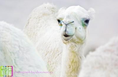 Winter Arabia
