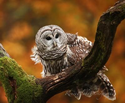 Barred Owl ~