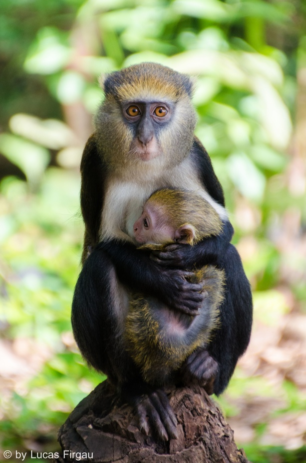 protection by fircas - Monkeys And Apes Photo Contest