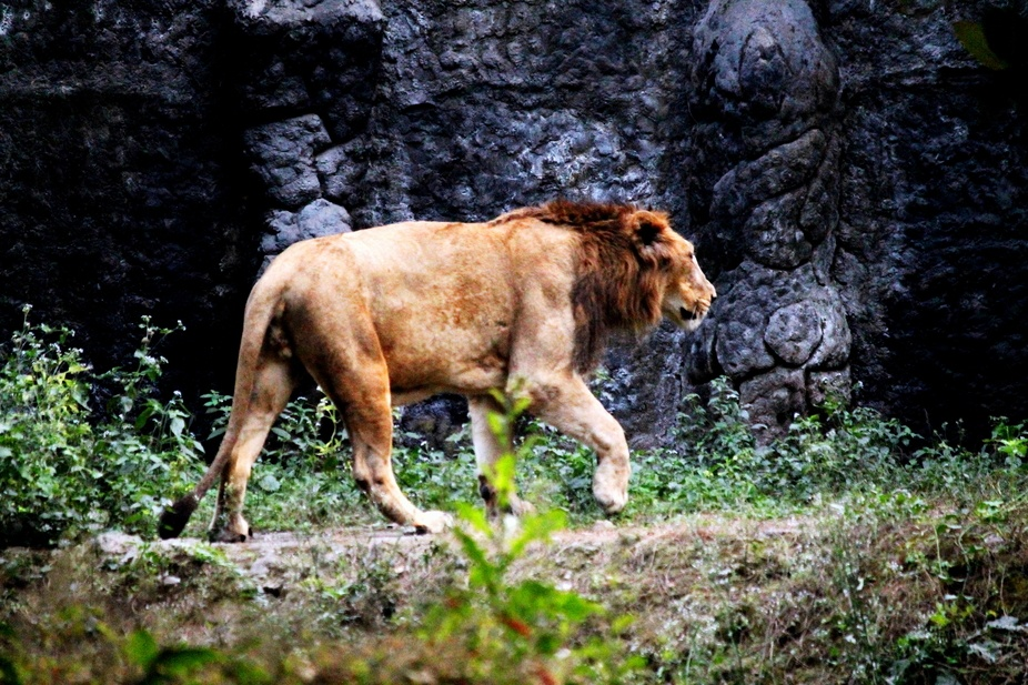 The Lion heading towards his Den