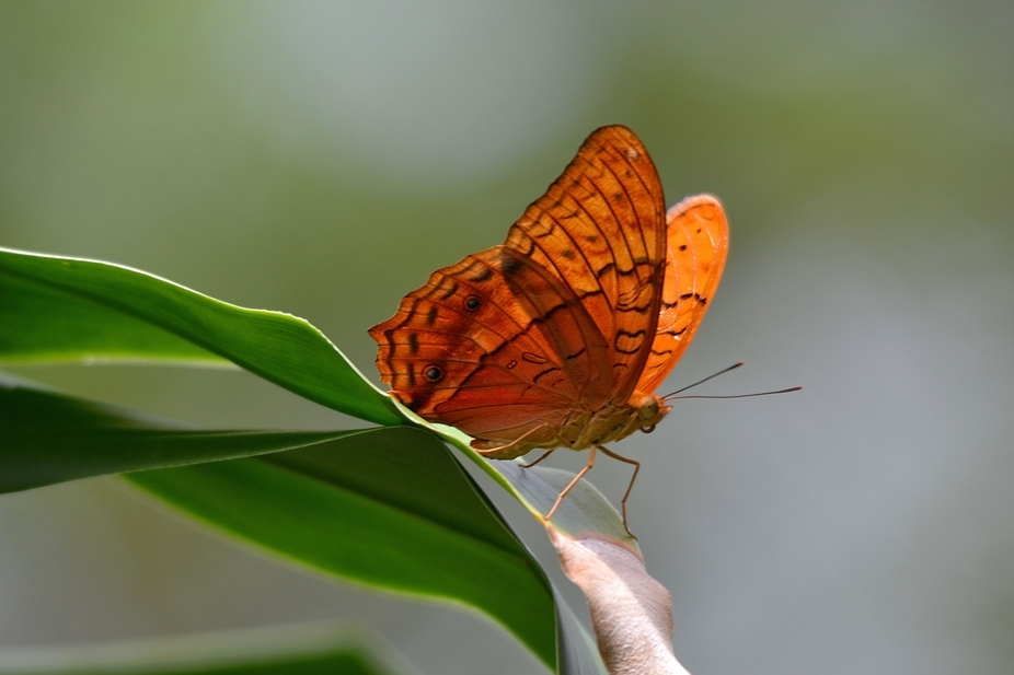 This male Butterfly is called 'The Cruiser'. Taken at Butterfly World   www.kay...