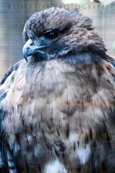 The Incredible Hawk