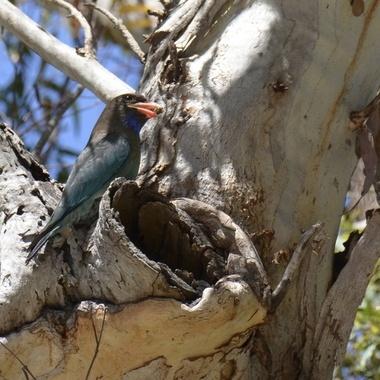 Dollarbird and nest site. Jimmy's Beach, NSW