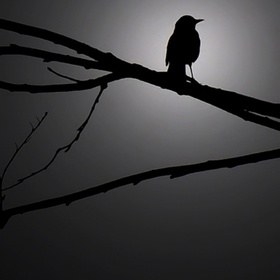 Silouette of a songbird