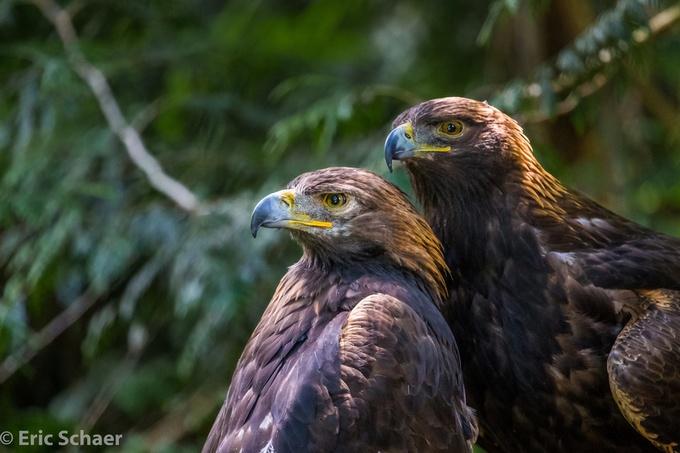 Golden Eagle Pair by ericschaerphotography - Just Eagles Photo Contest