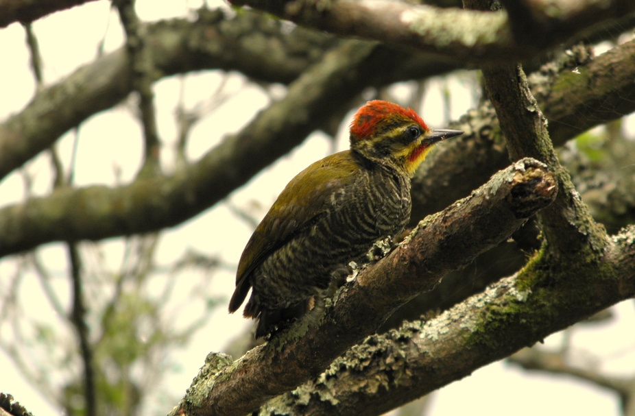 Small size that Golden Woodpecker photographed in the Atlantic Forest in São Paulo / Brazil.