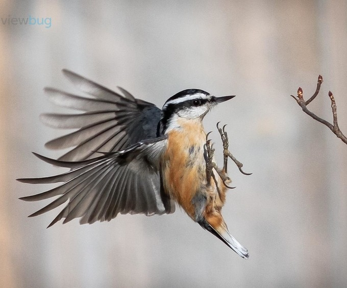 Red-breasted Nuthatch by PLHinds - Fstoppers Volume 5 Photo Contest