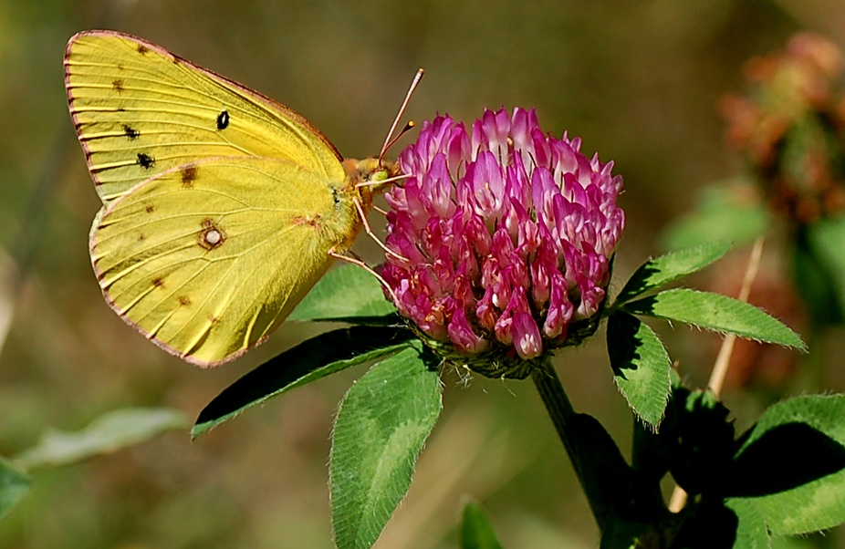 Sulpher butterfly nectaring on clover.