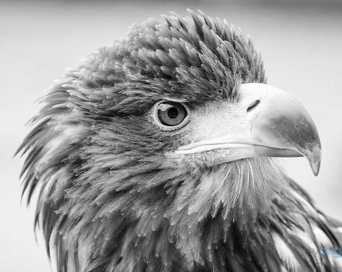 Sea Eagle by traceytaylor - Textures In Black And White Photo Contest