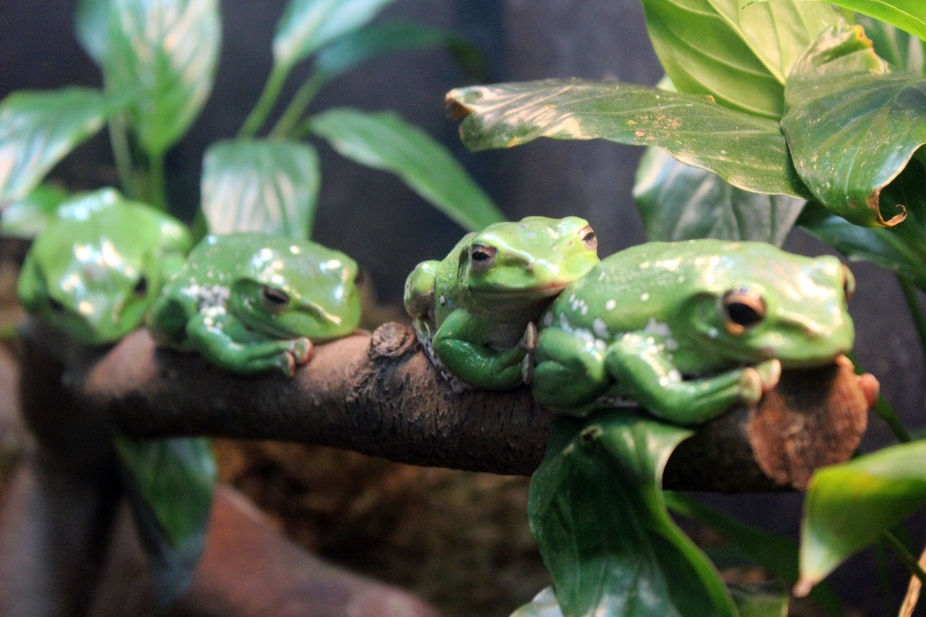 These frogs were just sitting on a log enjoying the day.