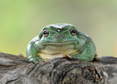 The handsome green frog!
