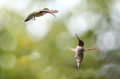 Hummingbird play