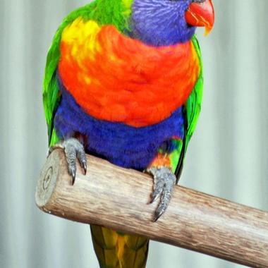 Found in coastal regions across northern and eastern Australia.