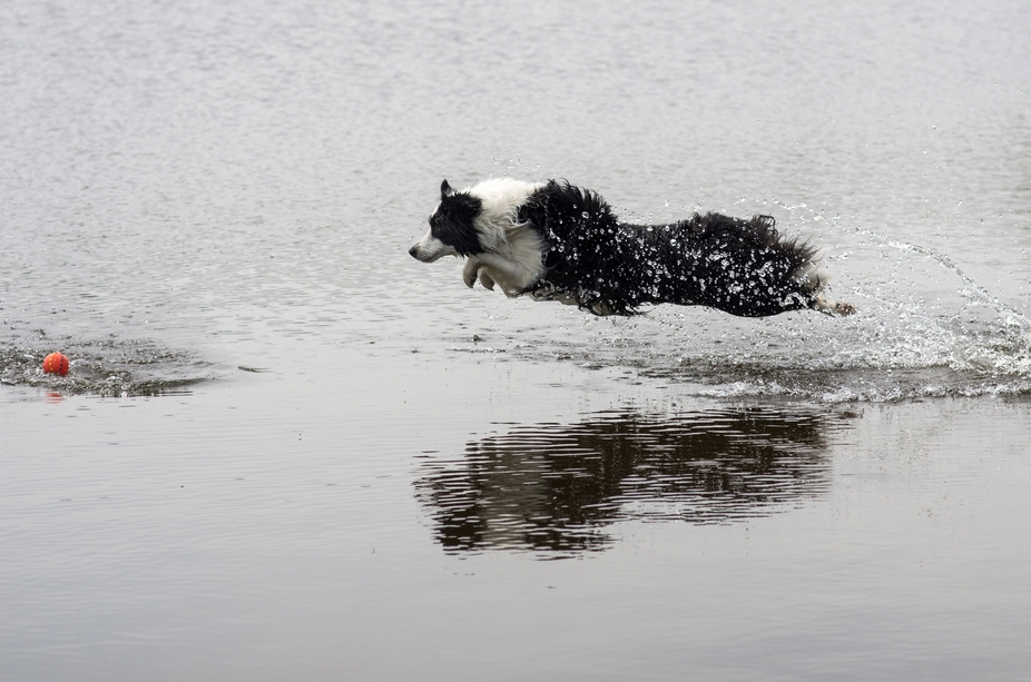 Border Collie girl chasing her ball in the water.