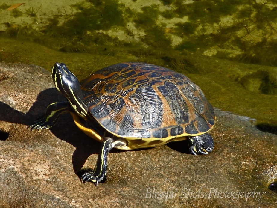 Taking time from his busy day, this turtle finds time to enjoy the warmth of the sun.