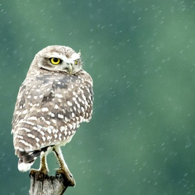 Owl in the rain