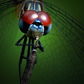 Close-up of a beautiful red-eyed dragonfly.