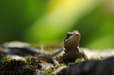 Another Backyard Gecko