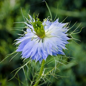 A vibrant Love in a Mist found tucked away in a roadside garden