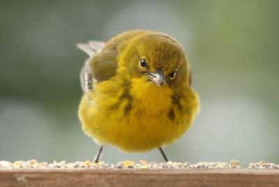 Warbler wobble