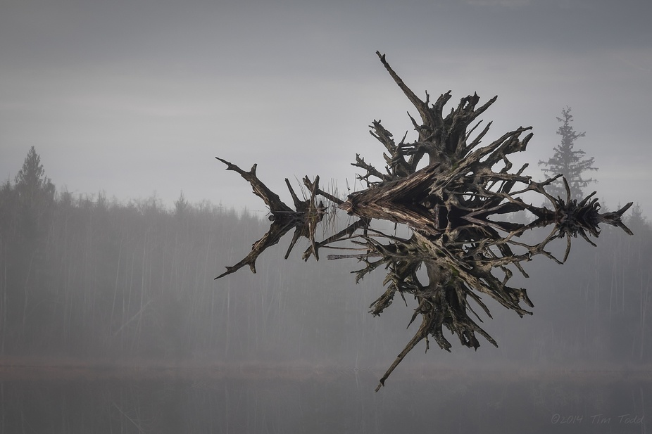 A tree\'s skeletal remains reflected on a Northwest lake.