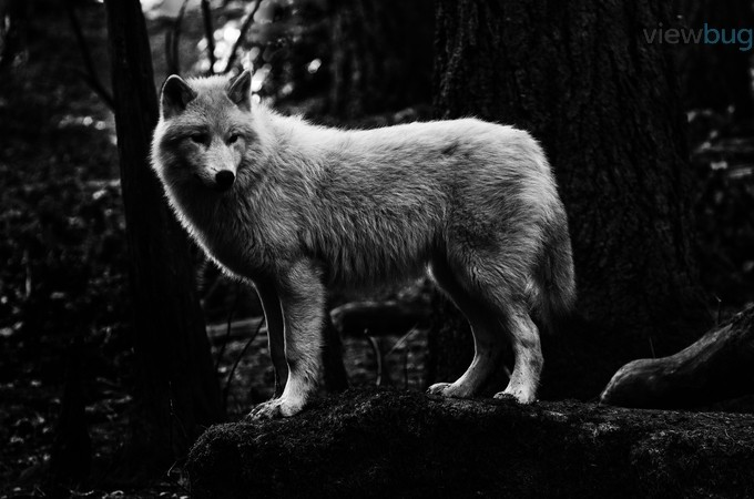 White Wolf Under Canopy by beaericson - Animals In Black And White Photo Contest